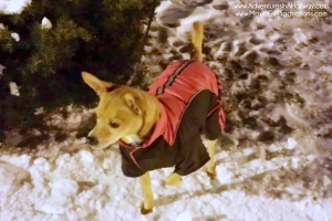 Rat Terrier, snowsuit, cold weather gear for dogs, pets, PetSmart, snow, freezing, travel, photography, iPhoneography