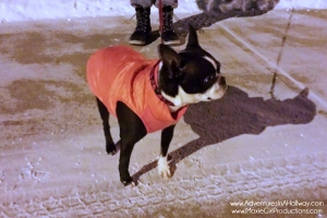 PetSmart, Boston Terrier, cold weather gear, snow, December, pets, dogs, freezing, travel, photography, iPhoneography