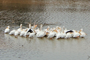 white pelicans, The Vineyards Campground, Grapevine, Texas, travel, photography, water, marina, views